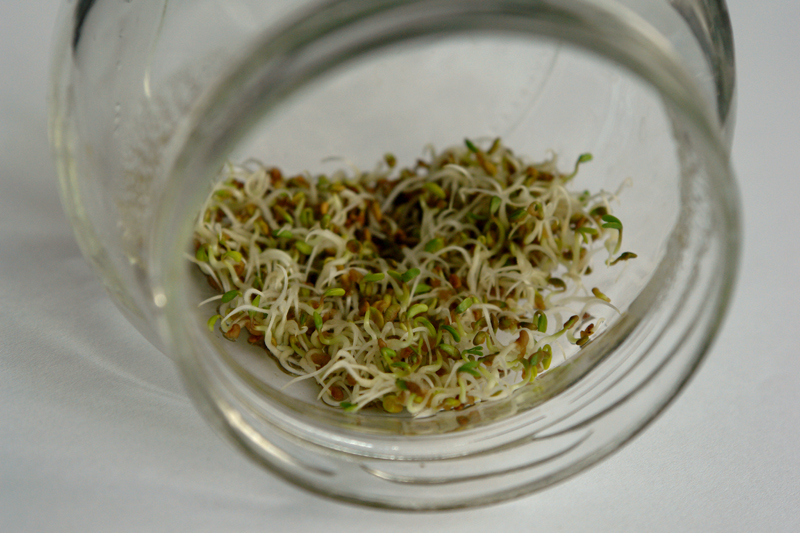 alfalfa 03 Germeni de lucerna   Alfalfa sprouts