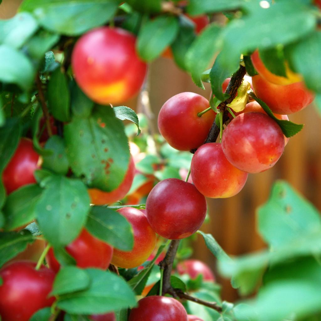 corcoduse rosii Rosii + O zi nostalgica de vara...